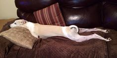 Why Whippets NEED couches! As well as pillows and soft blankets.
