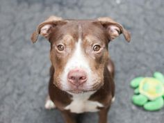 SAFE --- URGENT - Manhattan Center    HODOR - A0994165    MALE, BROWN, PIT BULL MIX, 4 yrs  STRAY - STRAY WAIT, NO HOLD Reason STRAY   Intake condition NONE Intake Date 03/17/2014, From NY 10031, DueOut Date 03/20/2014  https://www.facebook.com/photo.php?fbid=774606899218858&set=a.617938651552351.1073741868.152876678058553&type=3&permPage=1