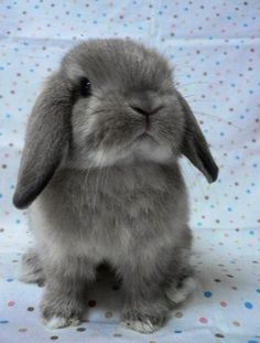 Today I'm gonna' introduce you guys to a kind of bunny called the Holland Lop. The Holland Lop is a breed of rabbit originated from the Ne...
