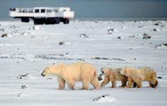On #BucketList - Churchill, MN polar bear experience...best make it before they go extinct #globalwarming