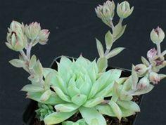 JadePoint Succulents Ships Easy Care Plants To Your Door Including Graptopetalum macdougallii