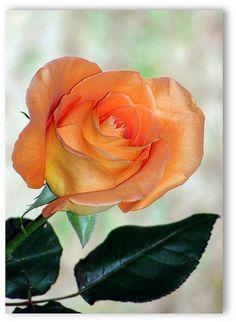 Knockout Rose ..