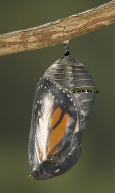 Monarch Butterfly In Chrysilis  nature creates beauty in all life stages & all life forms!!!!
