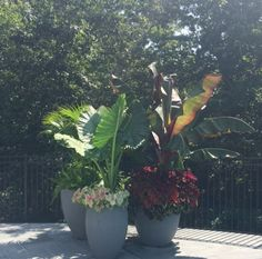Asparagus fern with palms - banana trees with coleus and elephant ears with caladium