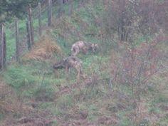 Due giovani lupi appenninici nel Comune di #Rezzoaglio