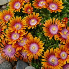 DELOSPERMA Fire Spinner-Delosperma Fire Spinner TM Ice Plant Stunning tri-colored flowers of orange, purple and white eye cover a tight, fast spreading mat of succulent evergreen foliage. The flowers are prolific in spring, reappearin Chelsea Flower Show, Flowers Perennials, Planting Flowers, Mixed Border, Ice Plant, Deer Resistant Plants, Plant Catalogs, Drought Tolerant Plants, Cactus Y Suculentas