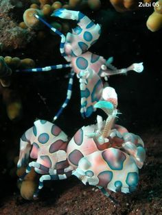 "Harlequin Shrimp ~ Miks' Pics ""Sea Life lll"" board @ http://www.pinterest.com/msmgish/sea-life-lll/"