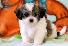 Your search for the perfect Havanese puppy has ended! This stunning puppy is very friendly and is a real social butterfly! Boxer Mix Puppies, Havanese Puppies For Sale, Havanese Dogs, Baby Puppies, Dogs And Puppies, Baby Dogs, Puppy Care, Pet Puppy, Pet Dogs