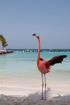 Flamingo auf Aruba in der Karibik. Lust auf ein Flamingo Selfie? Auf der Privatinsel Renaissance Aruba Private Island sah ich sechs Flamingos am Strand, die man sogar füttern kann. Weitere Fotos und Infos im Reiseblog.