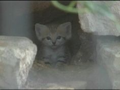 'Sand Kittens Storming The Web (20 Aug 2012).' More wild cat kittens. Note as you listen - the reporter didn't do her homework, as these cats are neither extinct nor the sole desert-dwelling species. For instance, one of the ancestors to our own house cats, the Black-Footed African Cat, lives in the South African deserts. Read more here: http://felids.wordpress.com/2012/08/20/sand-kittens-storming-the-web/