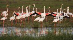 #Flamencos. Doñana Reservas. #comarcadedonana #donana #elrocio #reservas #marismas #bosque #discovering #visitas