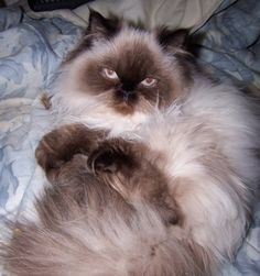 ~ Himalayan Cat ~ **** My cat is Himalayan too he does this all the time it is so funny to watch him we have had him for 6 years he was 6 weeks when my husband got him for me on my birthday we love him he's a big part of our family.