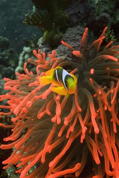 Pink fluorescent anemone with a Red Sea Anemone fish @ 30m depth in Woodhouse Reef, Tiran(Sharm El Sheikh), Egypt.  This photo is shot with a magic filter without the use of strobes. If the same shot was done with strobes the original color of the anemone would have been replaced with a brownish/yellow while it would be possible to capture the fish in better quality.