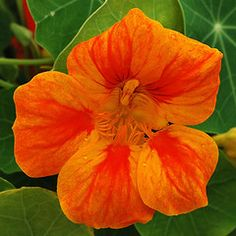 Nasturtium - going on the fence line between us and the bayou