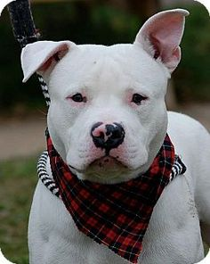 Today's Five O'Clock Cuteness is the one and only, Gideon. Gideon is a young pit bull mix in Philadelphia, Pennsylvania. Lost Pets, Losing A Pet, Oclock, Four Legged, Pit Bull, Pet Adoption, Dog Cat, Terrier, Hate