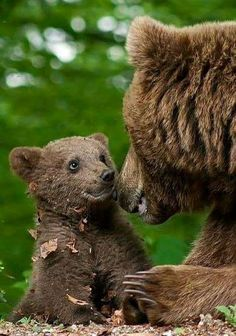 A photo of the cutest bear cub ever having a sweet moment with mama. Sometimes all you need to make your day a little better is a great photo of a cute bear cub. Cute Wild Animals, Animals Beautiful, Funny Animals, Bear Pictures, Animal Pictures, Nature Animals, Animals And Pets, Bear Cubs, Grizzly Bears