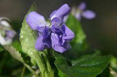 Viola odorata 'Gloire de Verdune'