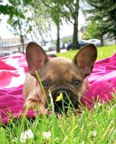 Helmi, the French Bulldog Puppy
