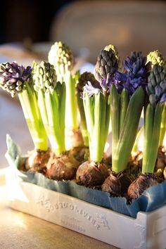 Centro floral con bulbos  En una caja de cerámica, en India & Pacific, forrada con lino azul. Bulbos, en Mayflower.