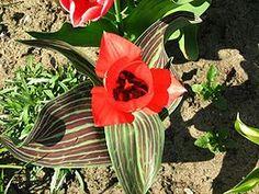 Tulipán Greigův Horticulture, Tulips, Plants, Green Leaves, Big Flowers, Rock Shower, Botany, Gardening, Square Foot Gardening