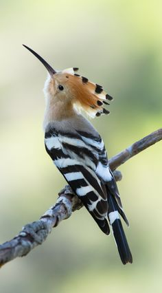 Hoopoe: Upupa epops - Hoopoe is the National-Bird of Israel - Flickr - Photo Sharing!