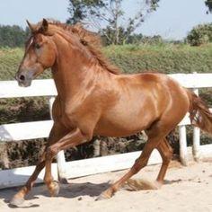Cavalo lazão