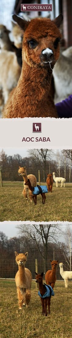 Meet Coniraya young alpaca- AoC Saba. This Alpaca was born in 2015 and its fiber is in color: Brown. Check out more details on our site!