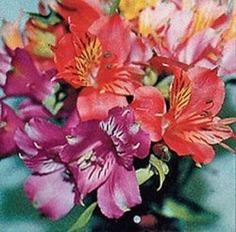 Alstroemeria learn 2 #grow #alstroemeria http://www.growplants.org/growing/alstroemeria