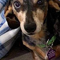 Available Pets At Little Paws Dachshund Rescue In Orangeburg South Carolina Dachshund Rescue Dachshund Adoption Save A Dog