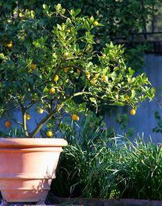 Zitronenbaum als Kübelpflanze