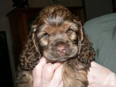 """Get fantastic ideas on """"spaniel puppies:"""". They are actually offered for you on our web site. Black Cocker Spaniel Puppies, American Cocker Spaniel, Baby Puppies, Cute Puppies, Dogs And Puppies, Pet Dogs, Dog Cat, Doggies, Baby Animals"""