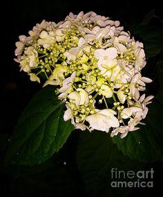 Night hydrangea