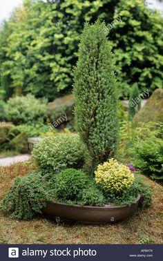 Juniperus communis Hochstamm Grüner Kriechwacholder Green Carpet 60-80cm
