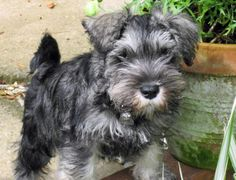 Mini-Schnauzer puppy!