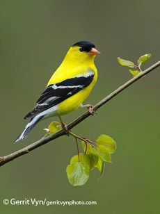 American Goldfinch — Birds of North America Online