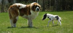 Best of friends: Einstein stands alongside Hannah, a St. Bernard he has become buddies with. He also plays with his owner's dog Lilly