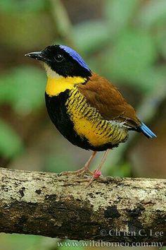 Global Gallery 'Gurneys Pitta Male, Krabi, Thailand' Framed Photographic Print Size: H x W x D Kinds Of Birds, All Birds, Love Birds, Exotic Birds, Colorful Birds, Pretty Birds, Beautiful Birds, Pitta, Bird Watching