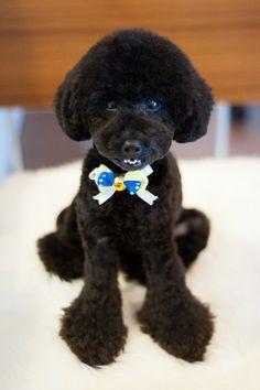 #bluepoodle #toypoodle #haircut