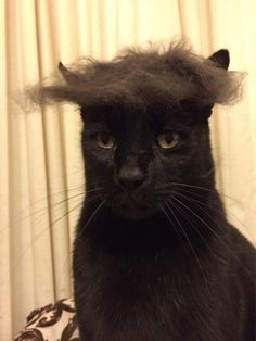 Don't throw that hair away after brushing you cat...make little toupees out of it.