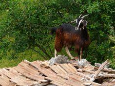 Capra sul tetto di una mandra