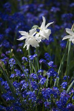 Narcissus 'Thalia' in bed of Forget Me Nots  // Great Gardens & Ideas //