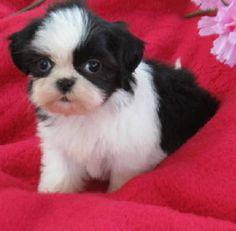 AKC blk & wh female shih tzu puppy