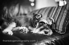 Miniature Schnauzer by Thank Dog Photography