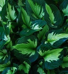 Hosta  'Whirl Wind' - Leaf colour changes continuously throughout the season - In spring, the leaf centre is creamy white with greenish veining, then turns light green by midsummer, and finally dark green in late summer. Unique growth habit with the pointy leaves held upright in a wavy mound. Slug resistant.