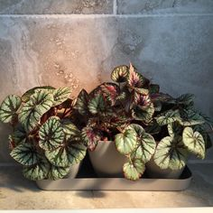 "Morgan on Instagram: ""✨No filter, just morning light on these Begonia rex. I keep these little gems in a self-watering planter set that I got at Target. It…"""