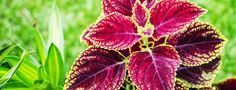 Forskolin Coleus Forskohlii Review  Real Health Benefits & Effects?