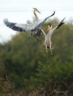 Great Blue Herons jumping together to cement there love