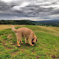 """""""#cotswoldway perambulation on #selsey common  #alfborder #borderterrior #btposse #dog #hound #puppy #pooch #cotswolds #swisbest"""" Photo taken by @combehouse on Instagram, pinned via the InstaPin iOS App! http://www.instapinapp.com (09/03/2015)"""