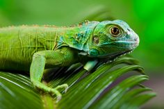 Iguana as a dragon #Photography 30 Days FREE $4.95 per month after 30 days