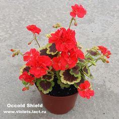 Картинки по запросу Occold Shield
